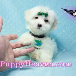 Ton Cruise - Teacup Maltipoo Puppy In Los Angeles  (49)