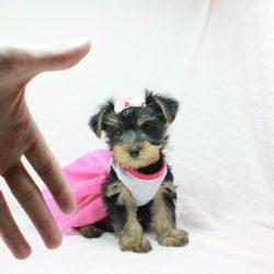 Zara - Teacup Yorkie Puppy in LA (10)