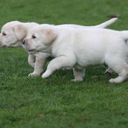 adorable-labrador-retriever-available-14