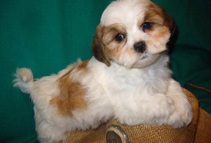 Shichon / Shih-Bi the Teddy Bear puppies - Image 5