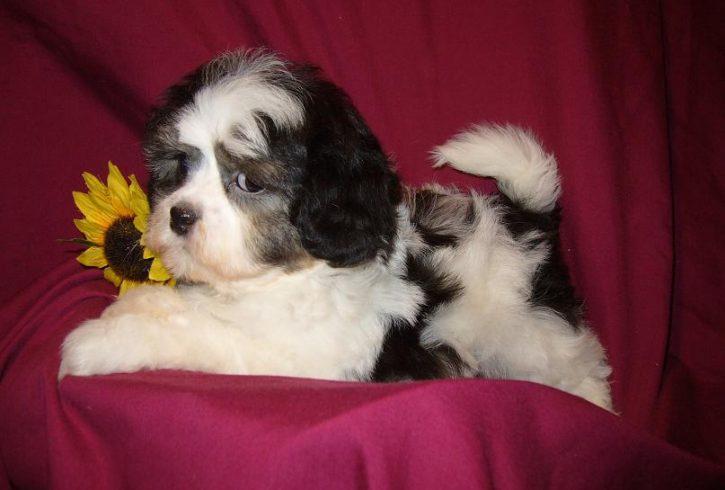 Shichon / Shih-Bi the Teddy Bear puppies - Image 2