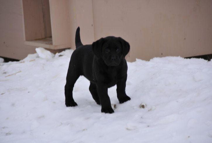 Champion Bred Labrador Puppies - Image 3