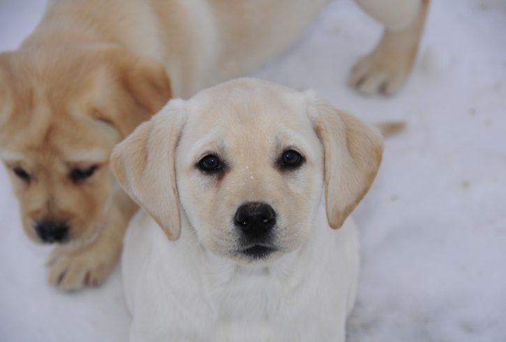 Champion Bred Labrador Puppies - Image 4