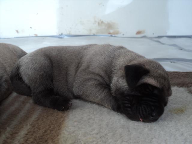 CKC Registered English Mastiff Fawn Puppies - Image 3
