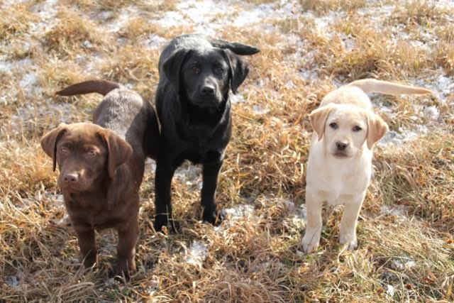 CKC Labrador Retrievers Puppies - Image 3