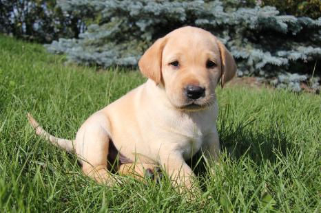 CKC Labrador Retrievers Puppies - Image 5