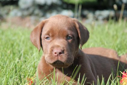 CKC Labrador Retrievers Puppies - Image 4