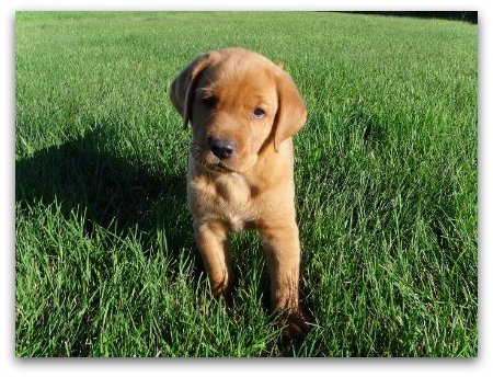 CKC Labrador Retrievers Puppies - Image 1