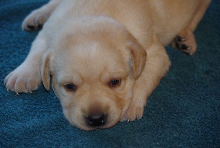 Labrador Puppies - Image 2