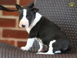 Adorable Litter of Bull Terrier Puppies! - Image 1