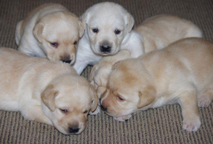 Labrador Puppies - Image 1