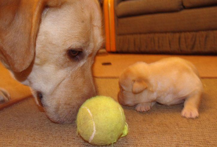 Labrador Puppies - Image 3