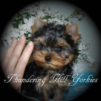 Getapuppyca Puppies And Dogs For Sale In Canada