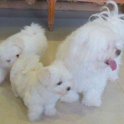 Gorgeous Maltese puppies ,.,,