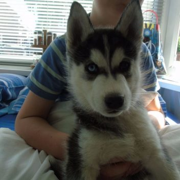 siberian-husky-puppies-for-sale-5960b8bbe6150