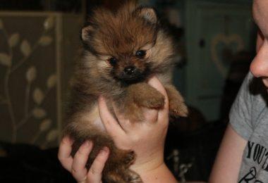 kc-reg-pomeranian-boy-puppy-594767b46bdf4