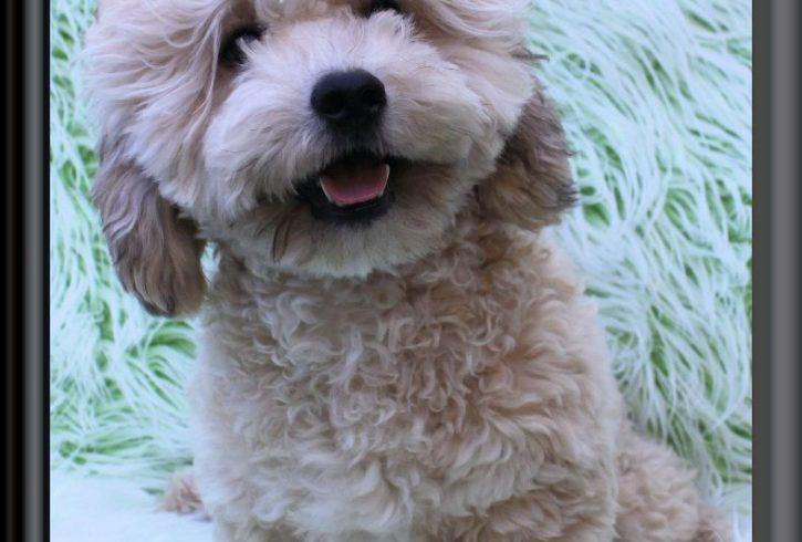 Teddy Bear Zuchon Puppies Shichon Shih Tzu Bichon Rare Colours
