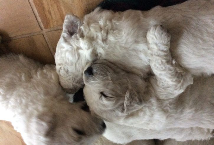 Kuvasz Puppies For Sale