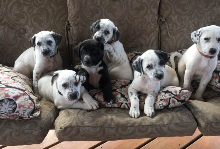 Dalmatian Cross 2019 Litter