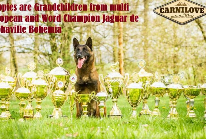 Top Euro Champion bloodlinesl CKC Registered Belgian