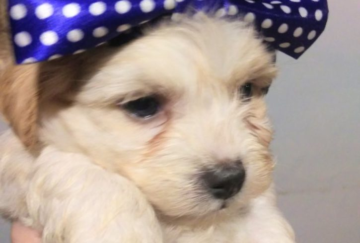 Havanese, Registered and Health Guaranteed